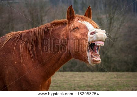 Laughing brown horse in a field during autumn