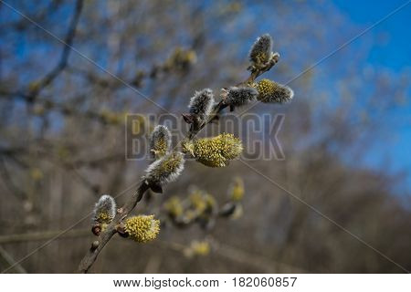 willow buds bloom in spring.furry catkins are young in early spring