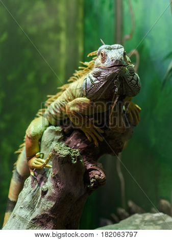 The green iguana (Iguana iguana) also known as the American iguana is a large arboreal mostly herbivorous species of lizard of the genus Iguana.