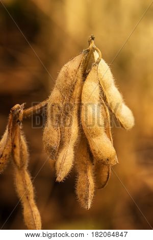 Ripe soybean pods close up cultivated organic agricultural crop