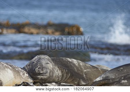 Southern Elephant Seals (Mirounga leonina) sleeping on a sandy beach on Sealion Island in the Falkland Islands.