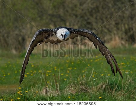 Bearded vulture in flight with vegetation in the background