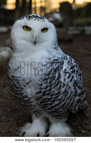 The snowy owl (Bubo scandiacus) is a large white owl of the typical owl family. Snowy owls are native to Arctic regions in North America and Eurasia.
