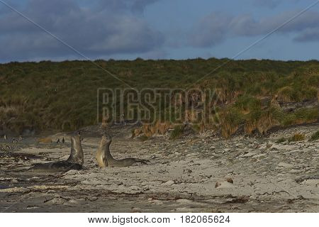 Southern Elephant Seals (Mirounga leonina) testing their strength against each other on a sandy beach on Sealion Island in the Falkland Islands.