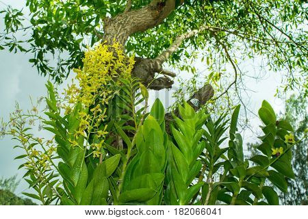 Wild Yellow orchids in a jungle on a tree in Vietnam, Orchid island