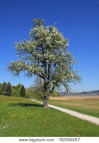 Spring scene in Zurich Canton Switzerland. Blossoming chery tree and footpath.