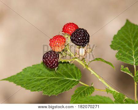 Detail of ripening blackberries on branch in summer - Rubus fruticosus