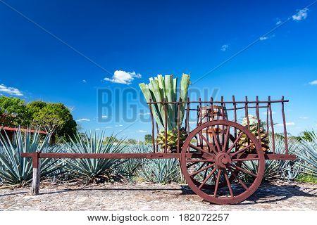 Blue Agave On A Wagon