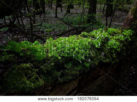 White flowers and green leaves on a fallen tree in a forrest