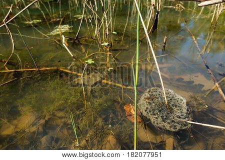 Frog nest floating in a pond. Reproductive cycle of amphibian.