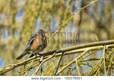 Robin perched on branch in eastern Washington.