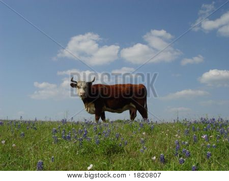 Horned Cow