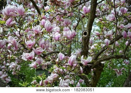 Branch with pink magnolia blossoms   (  Magnoliaceae  )