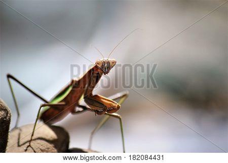 A curious praying mantis looking at the camera