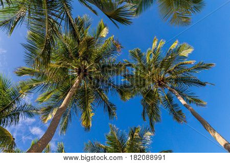 Coconut palm trees at  Maldives in front of blue sky