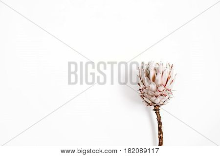 Beauty pink protea flower on white background.