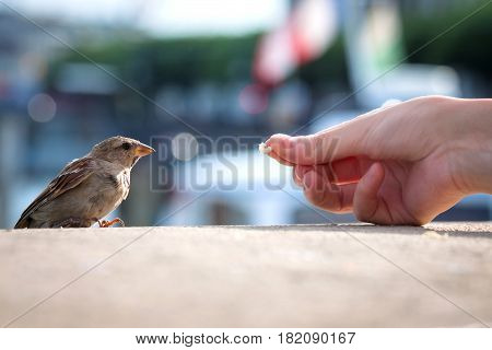 Feeding young Sparrow (passer domesticus) at the waterfront of Geneva. The human hand with crumbs of bread. Summer day. Blurred the background. Do good