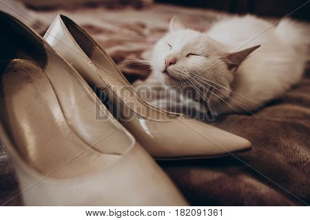 Cute White Cat With Funny Emotion And Beige Stylish Shoes On Bed, Bride's Morning. Wedding Preparati