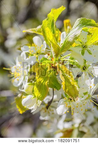 Blossoming branch of a plum tree in a spring garden macro. Selective focus