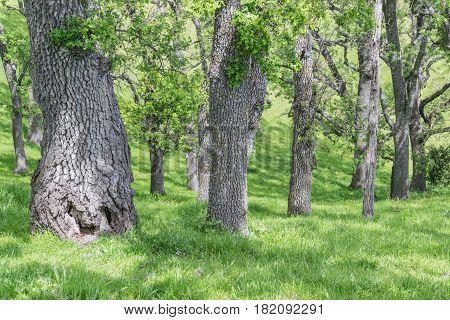 Fat Trunk: various size oak tree trunks, among tall green grass