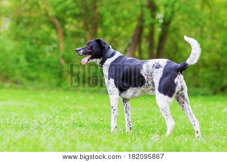 Black And White Mixed Breed Dog Outdoors