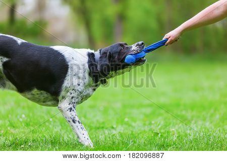 Woman's Hand And A Dog Pulling At A Toy