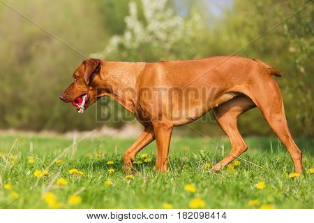 Rhodesian Ridgeback With A Toy In The Snout