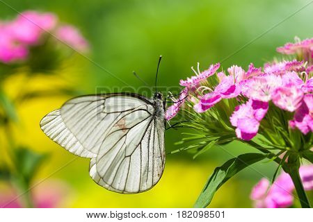 beautiful white butterfly sits on spring pink flowers. lepidoptera macrowildlife