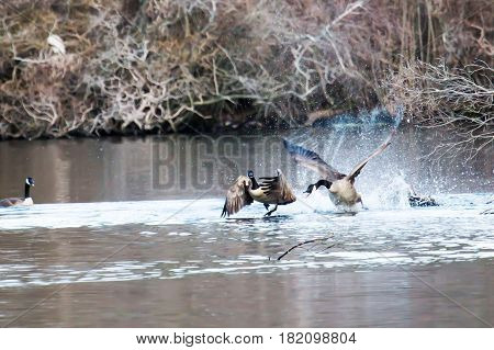 Canadian geese are either fighting or flirting at Belmont Lake State Park in New York
