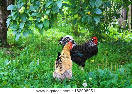 farm farmyard rooster and chicken walking in yard. hen roam freely on green grass