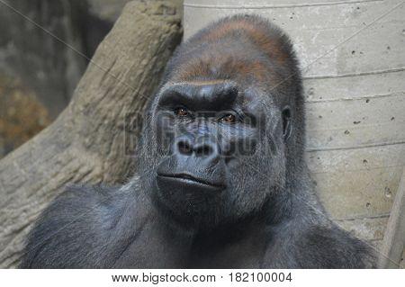 A lowland western gorilla sitting on a rock