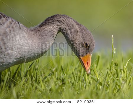 Greylag Goose Bird Eating Grass