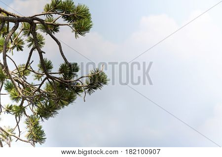 Blue sky and clouds background with copy space accented by gnarled pine branches. Location is Crater National Park in Oregon USA.