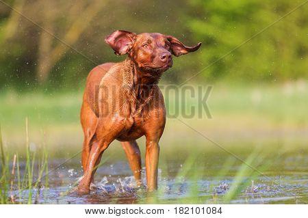 Rhodesian Ridgeback Shaking The Wet Fur