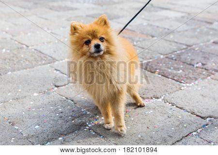 Cute Pomeranian Dog At The Leash