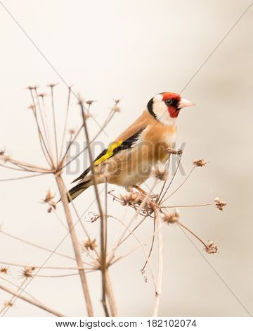 Portrait of Goldfinch perched on a plant