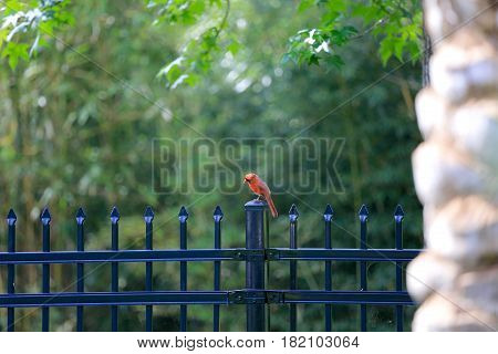 A male Cardinal hanging on the fence in our backyard.