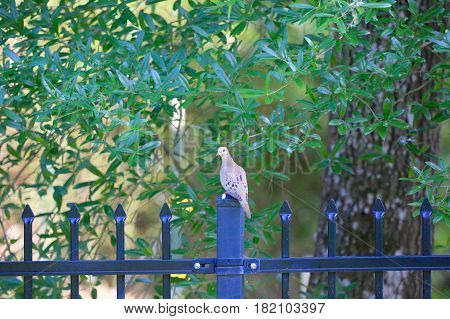 Dove hanging out on the fence in our backyard.