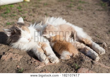Rustic Cat Feeds Milk From Their Red Kitten Lying On The Ground