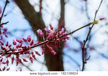 Eastern Redbud flowering in early spring Spring flowering trees