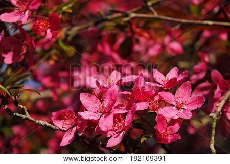 spectacular crabapple flower blooms in early morning light
