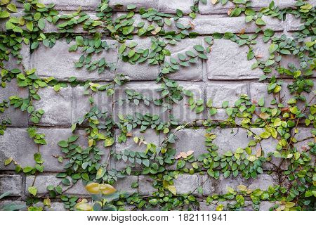The green creeper plants on the wall background