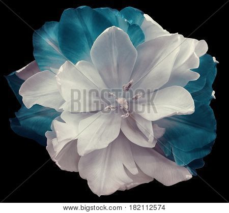 White-turquoise tulip flower on black isolated background with clipping path. no shadows. Closeup. Nature.