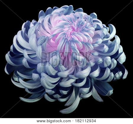 turquoise-pink flower chrysanthemum. Side view. Motley garden flower. black isolated background with clipping path no shadows. Closeup. Nature.