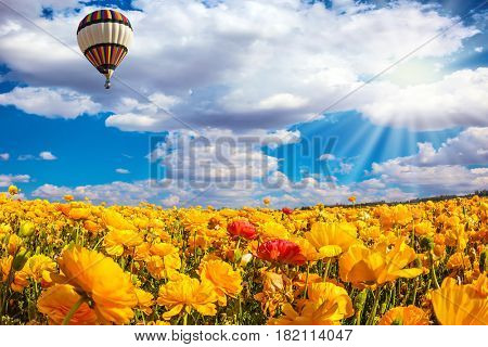 The huge multi-color balloon slowly flies in clouds. The  blossoming fields of garden buttercups. Concept of rural and extreme tourism