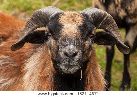 Rammer. Detail head of sheep ram Cameroon. Breeding Farm