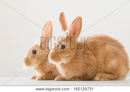 two funny red rabbits on white background