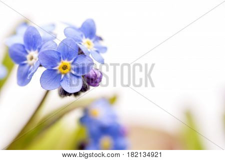 Close up blue Forget-me-not flowers in front of white background