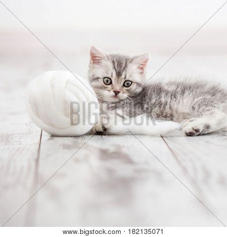 Curious gray kitten. Little cat at home. Small pet