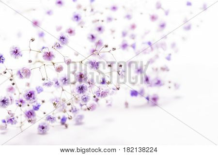 Purple coloring soaproot flowers on a white background